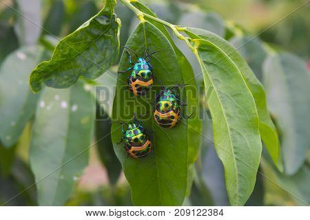 Three Bugs (Chrysocaris stollii) on green leaf.
