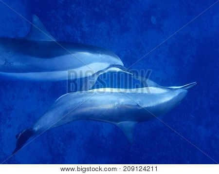 Close Up Spinner Dolphins with Profile and Eye Looking At Camera in Bright Blue and Silver