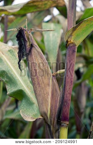 Corn cob on corn plant with leaves on conventional corn field.