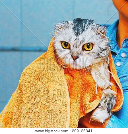 Unhappy Washed Lop-eared Cat