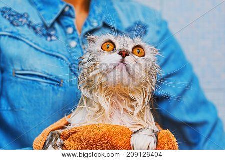 Scottish Fold Cat After Hard Wash