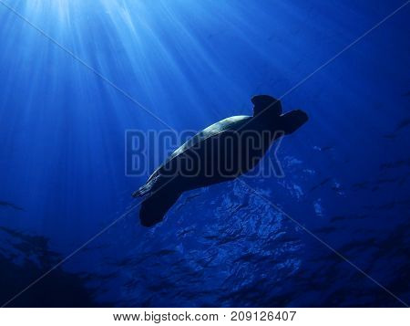 Sea Turtle Gliding Underwater in Silhouette with Rays of Sun Beams Lighting up Its Back and Shell