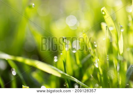 dew drops on green grass . In the park in nature