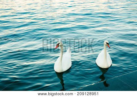 Two white swans in river at sunset. Swan love. Cygnus. Blue water and graceful birds. Lake. Romantic background.