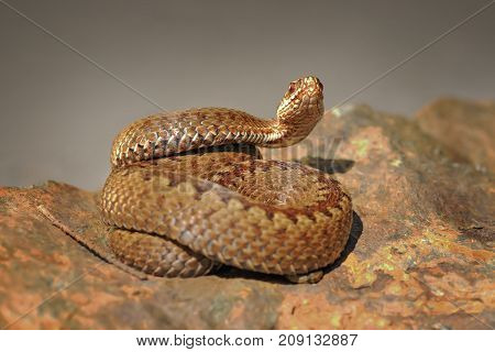 crossed viper preparing to strike standing on stone ( Vipera berus )
