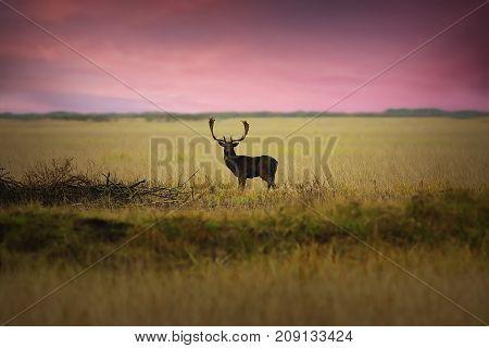 fallow deer stag on meadow at dawn natural habitat ( Dama )