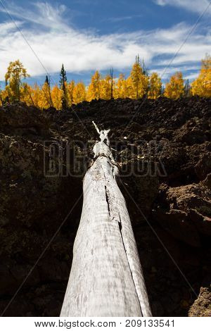 Vertical perspective of a fallen branch in a lava field during the autumn with gorgeous fall foliage in Dixie National Forest in Utah.
