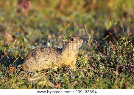european ground squirrel in natural habitat ( Spermophilus citellus ) on IUCN red list
