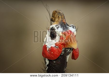 portrait of helmeted guineafowl ( Numida meleagris )
