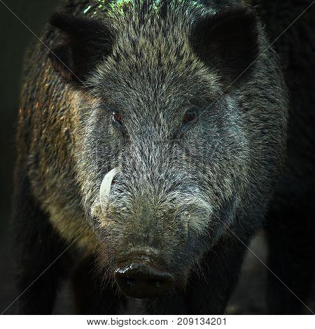 portrait of large wild boar ( Sus scrofa )