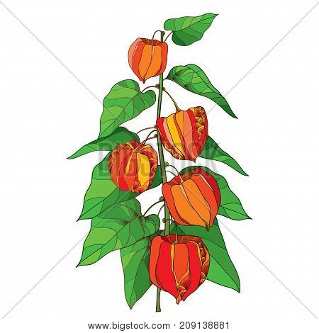 Vector branch with outline Physalis or Cape gooseberry or Ground cherry fruit, green leaf and orange berry isolated on white background. Ornate perennial plant in contour style for autumn design.