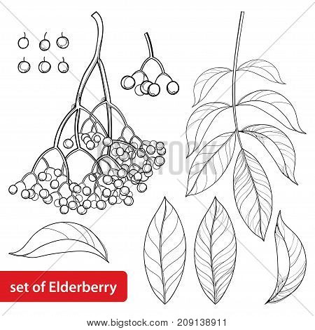 Vector set with outline Sambucus nigra or black elder or elderberry, bunch, berry and leaves isolated on white background. Drawing of elderberry in contour style for autumn design and coloring book.