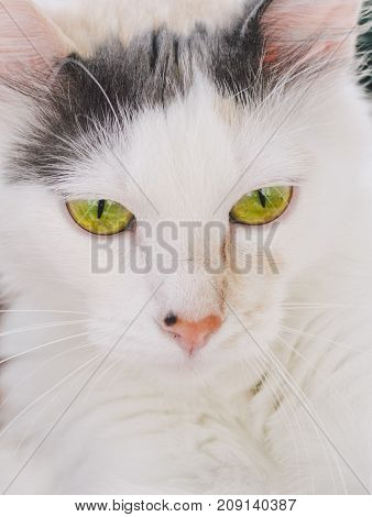 Portrait of the white cat with green eyes in home