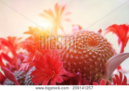 The sun shines brightly through the blooming red flowers cactus