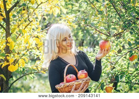 beautiful blonde girl is harvesting apples from a tree in autumn