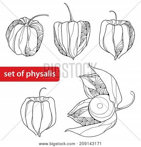 Vector set with outline Physalis or Cape gooseberry or Ground cherry fruit, ornate berry isolated on white background. Perennial plant in contour style for autumn design and coloring book.