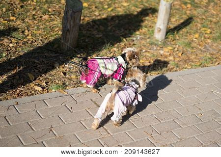 two dressed yorkshire terrier in the park