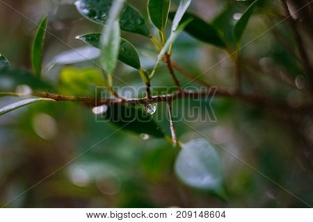 Water droplet on branch of green leaf tree show humidity of rainy day with blurry background and foreground