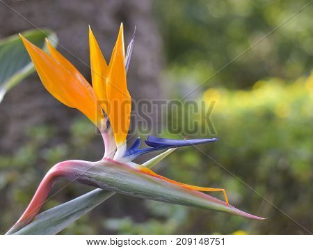 We have in foreground and profile the flower of the bird of paradise with a background bokeh. La flower of paradise of scientific name (strelitzia regine) is native of South Africa.It is often seen in gardens.