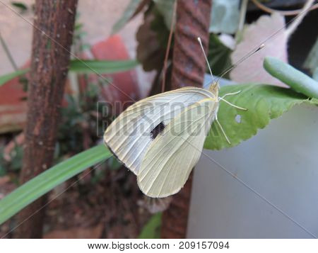 Butterfly with white wings but with a black spot I think is his fake eye that serves to deceive his predators
