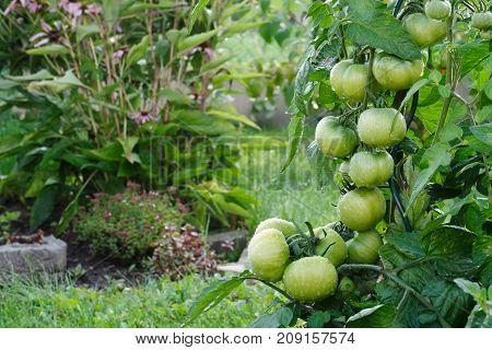 Wet Green Tomatoes Growing In A Garden. Herbs In The Background.