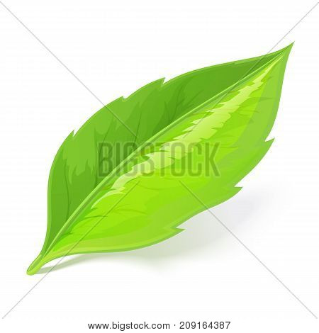 Green leaf lying on white background with shadow. Stock illustration EPS 10