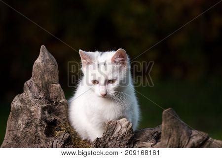 Small White Cat On Stump