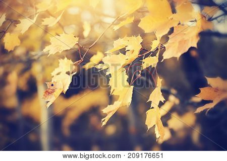 Yellow maple leaves on branch in autumn. Golden autumn.