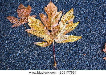 Maple Leaf On Ground In Fall