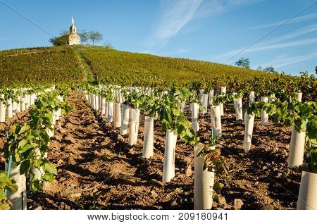 new vine plantation at the foot of the hill of Fleurie village