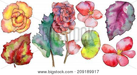 Wildflower begonia flower in a watercolor style isolated.