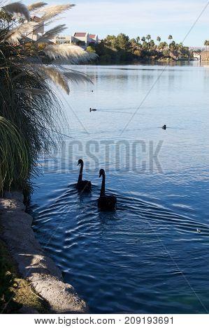 Black Swans in Lake, Las Vegas, Nevada