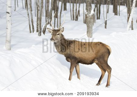 Red deer walking through the winter snow