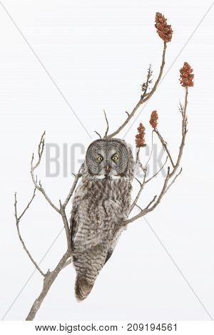 Great grey owl (Strix nebulosa) hunting from a tree over a snow covered field