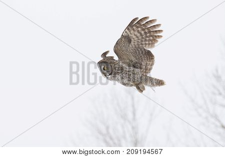 Great grey owl (Strix nebulosa) hunting over a snow covered field