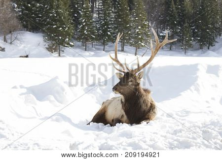 Bull Elk resting in the winter snow