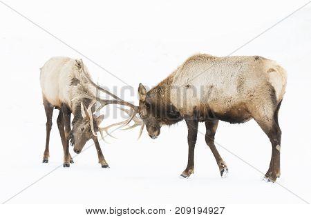 Bull Elk fighting in the winter snow