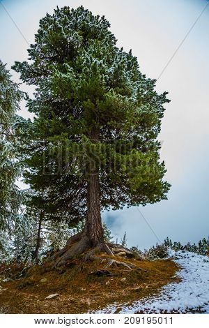 Dolomites in Northern Italy. Alpine Pass Giau. Magnificent pine covered with the first snow