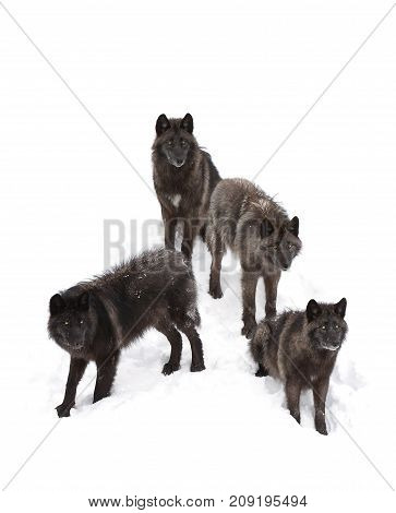 Black wolves standing in the winter snow