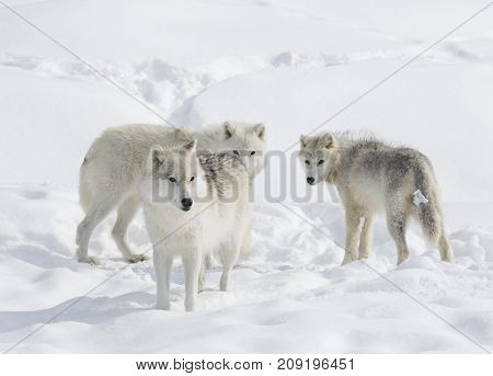 Arctic wolves standing in the winter snow