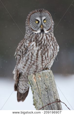 Great grey owl (Strix nebulosa) perched on a post in the winter