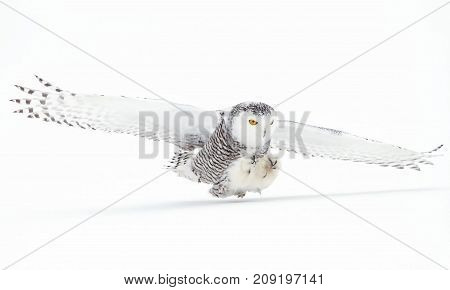 Snowy owl (Bubo scandiacus) coming in for the kill over a snow covered field