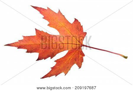 Red autumn leaf of silver maple or Acer saccharinum isolated on white background