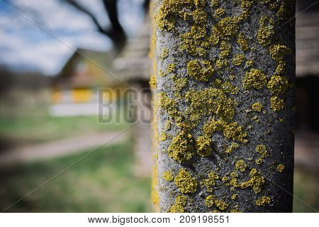 Macro picture of green moss. Close up macro photography of nature. Moss lichen background on the grungy cement wall texture