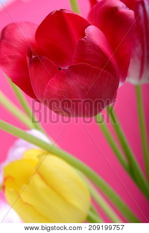 spring flowers banner - bunch of red and yellow tulip flowers on red background