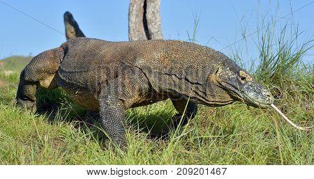 Komodo Dragon ( Varanus Komodoensis ) With The  Forked Tongue Sn