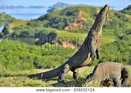 The Komodo dragon ( Varanus komodoensis ) stands on its hind legs . It is the biggest living lizard in the world. Island Rinca. Indonesia.