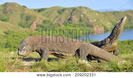 Komodo Dragon ( Varanus Komodoensis ) In Natural Habitat. Bigges