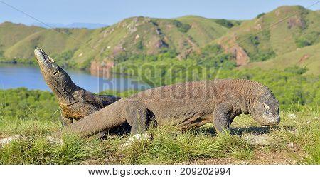 Komodo Dragon ( Varanus Komodoensis ) In Natural Habitat. Bigges