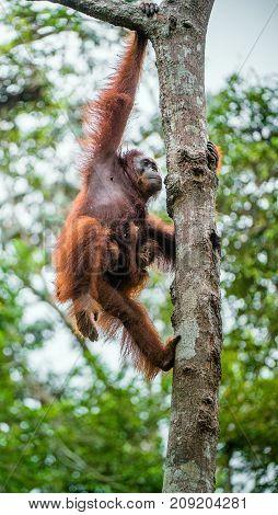 Mother Orangutan And Cub On The Tree In A Natural Habitat. Bornean Orangutan (pongo  Pygmaeus Wurmbi
